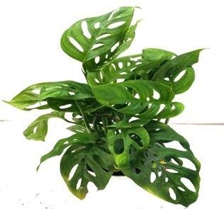 Aerifying Obliqua Green