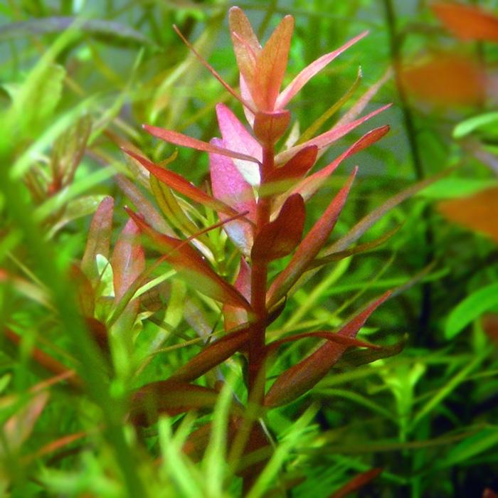 Blood Stem Plant
