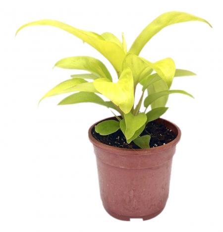 ceylon gold plant